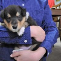 名犬ラッシー!コリーの子犬写真を更新しました