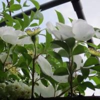 蔓性植物(クレマチスやつるバラ)・・・