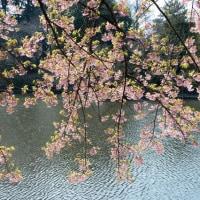 新宿御苑の桜・・2