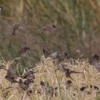 野鳥の世界(スズメの大群)とカワラヒワ