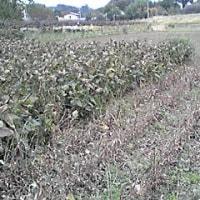 大豆の収穫(1)
