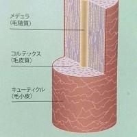 髪の毛はのり巻き構造?内部構造から見る髪質の違い