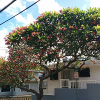 花盛りのハワイ