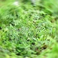 半日で蔓延る カラスノエンドウ(烏野豌豆)
