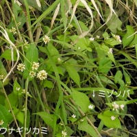 大堀川周辺の野草_アキノウナギツカミ(秋の鰻攫)