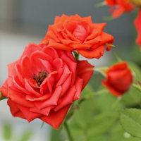 5/26 今日の花たち・アジサイの季節が来た!