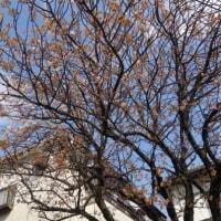 我家の早咲き桜はかなり散ってしまいましたが