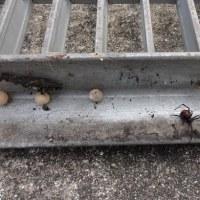 セアカゴケグモを駆除