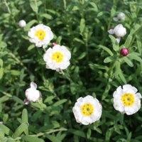 「おはようの花」 花簪 (はなかんざし)12月