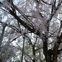新緑と残桜