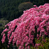高開の芝桜