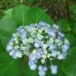 紫陽花(雨引観音:坂東33観音24番札所)