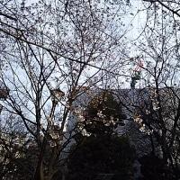 寒いので桜も