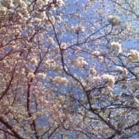 お花見日和。