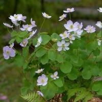 梅花カラマツ(1)~一重紫花