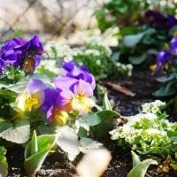 いよいよ開花&昨日の庭仕事