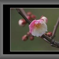 新しく咲きだした梅の花