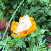 黄花コスモスと紋白蝶