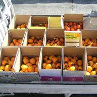 渋柿と甘柿の出荷