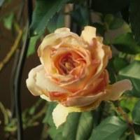 バラが咲いた♪バラが咲いた♬