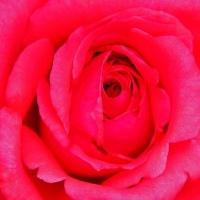 薔薇とタンポポ