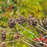 これが栄養豊富なハゼノキの実です。 (Photo No.13856)