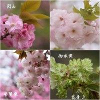 桜・さくら・サクラ~ありがとう~♪
