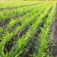 大豆は地干し、小麦は麦踏み。