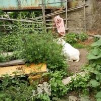 夏野菜の植え付け。大川のヤギ達。グリーン債すくすく。新米農家の里山ライフ。「がん患者は働かなければいい」。