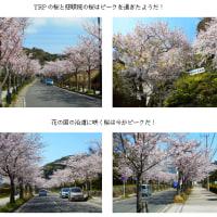 花見第3弾久里浜(H29.4.13)