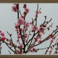 梅の里の花(裾野市内)