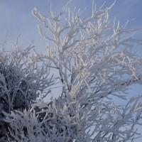 スズメが止まる木に 樹氷が。