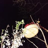 啓翁桜(けいおうざくら)のその後の巻