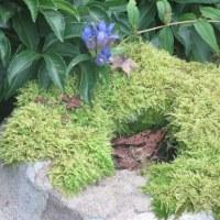 東慶寺の竜胆が咲き始めていた