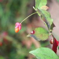 パンセの庭で ノブドウ ツルリンドウ マユミ の実