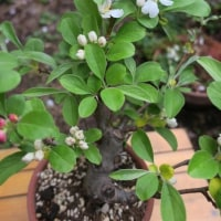 我が家の春の花 その弐 姫リンゴ国光 深山カイドウ 黄モクレン