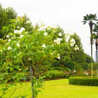 新宿御苑のバラの花が咲き始めました
