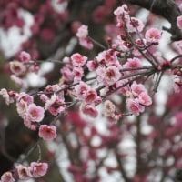 梅の花の向こう