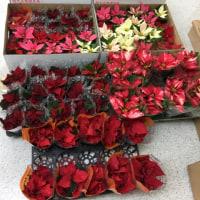 クリスマスの花  ポインセチア