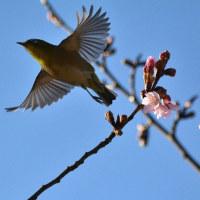 蜂須賀桜とメジロ