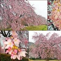 さくら・桜・サクラ by西方