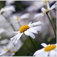 「富岡しゃくやく園」 園内での花々  (1の1)  ★ 2017.05.24 ★