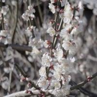 梅は~咲いたかぁ~桜は~まだかいなぁ