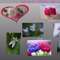 ●我が家の5月の花 口紅シラン、紫蘭、ヤグルマギク