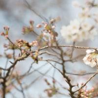 桜、咲いちゃいました!