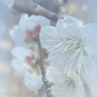 道明寺の梅 2017.2.21