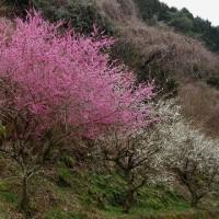 月ヶ瀬の梅と大塩の桜