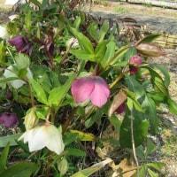 焼き芋と なかなか咲かない花