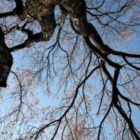 桜を眺める