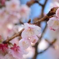 寒桜。。。。。。。。